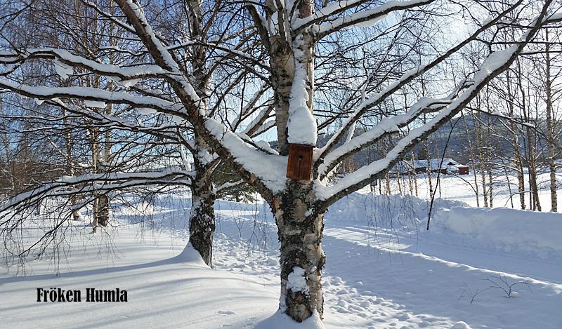 björkar,fågelholk,februarisol