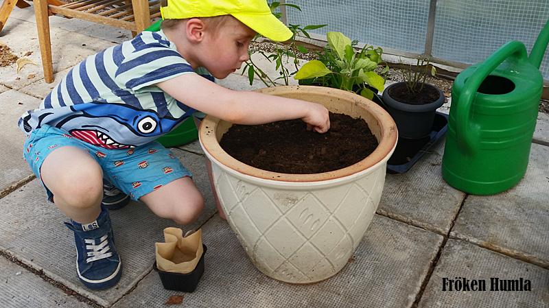 sockerärtor,så frön, odla med barn