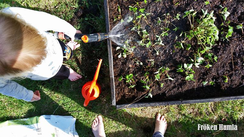 Smultron,omplantering,vattnas