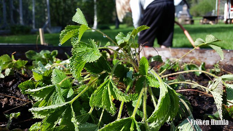 Smultronplanta,omplanterad,odla i norr,norrbotten