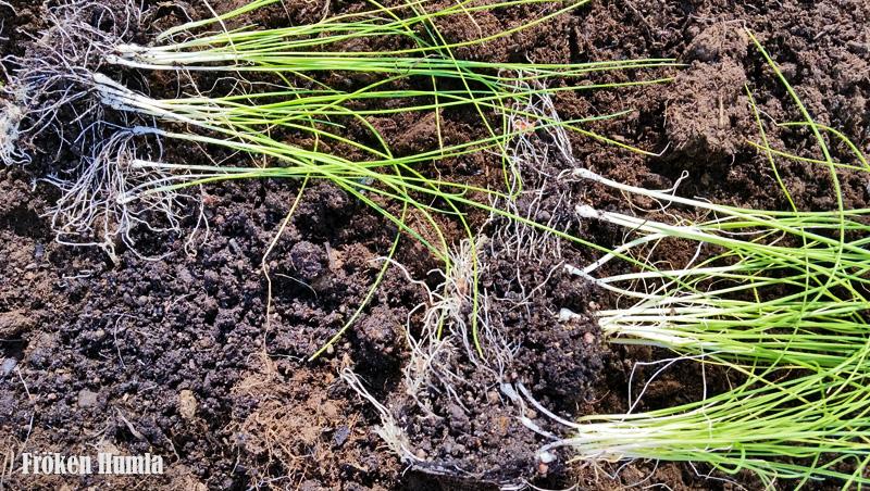 purjolök,små plantor,förodlade,odla i norr