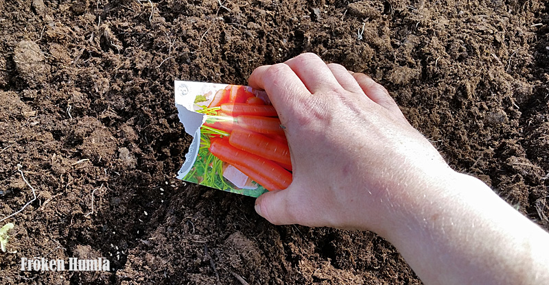 Så morötter,odla i norr