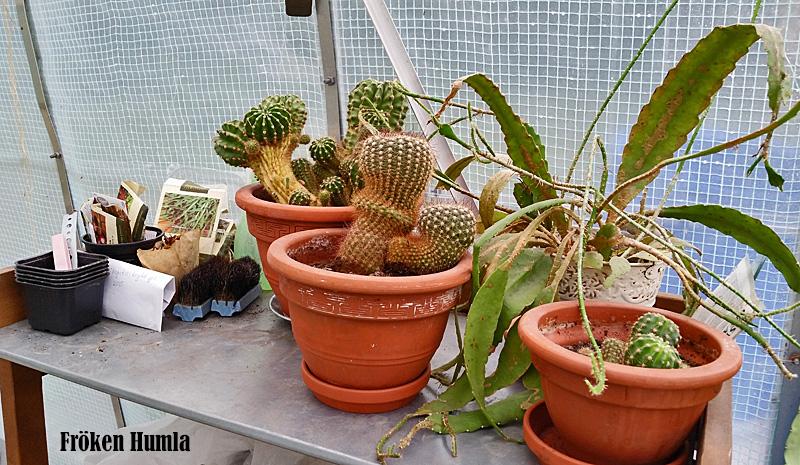 kaktusar,växthus
