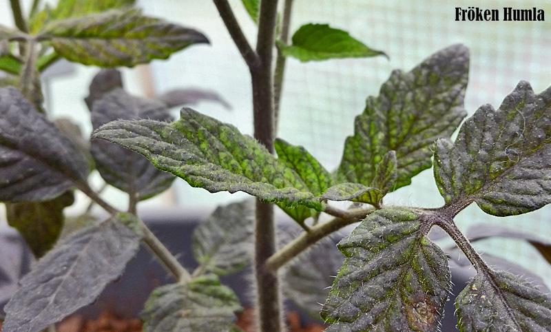 Indigo Rose,svart tomat, växthus,odla i norr,fröken humla