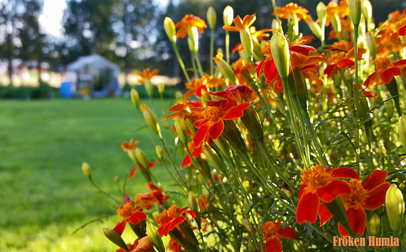 fröken humla,tagetes,växthus,augusti,kvällssol
