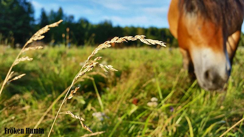 fröken humla,hästar,mattisudden,kvällssol,augusti
