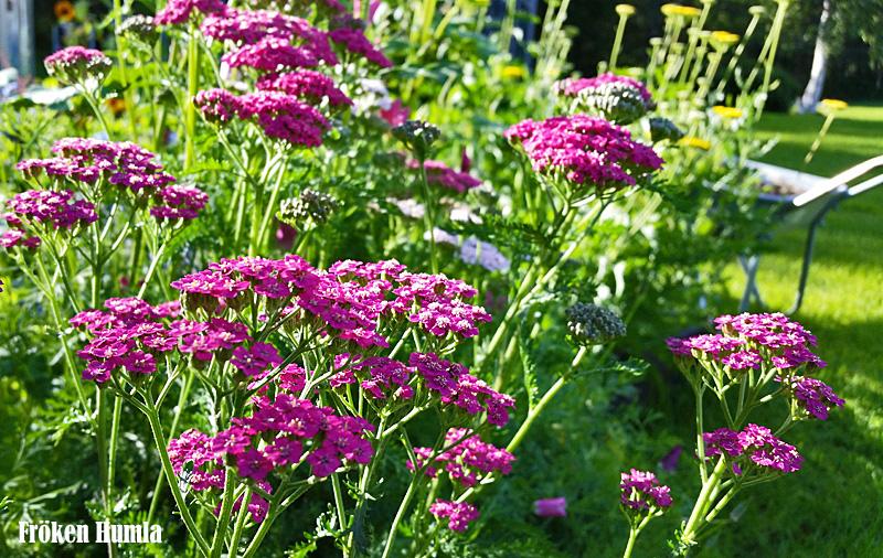 rosa röllika,fröken humla,trädgård,norrbotten