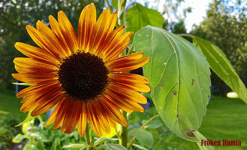 solros,fröken humla,norrbotten,trädgård
