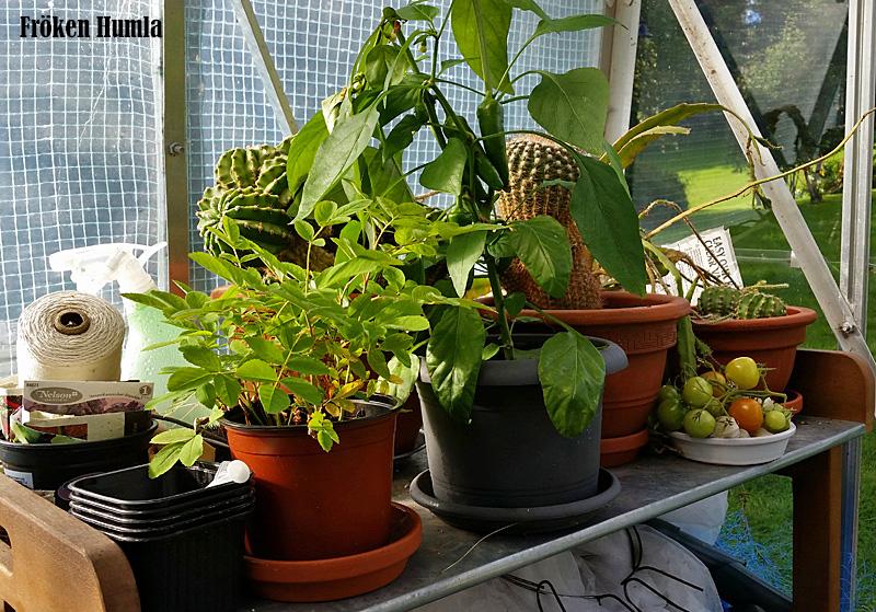 kaktusar,paprika,växthus,fröken humla,norrbotten