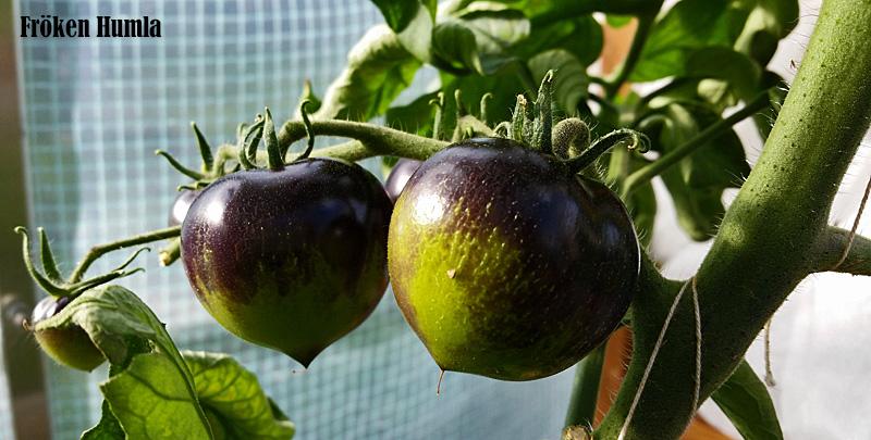 svarta tomater,växthus,fröken humla,norrbotten