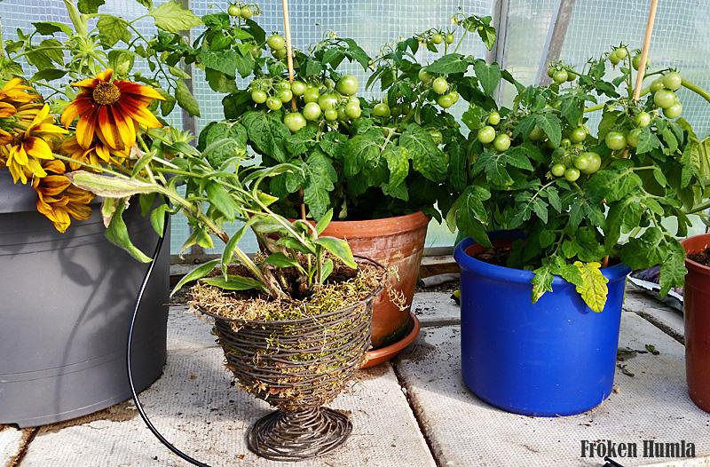 körsbärs tomater,växthus,fröken humla,norrbotten