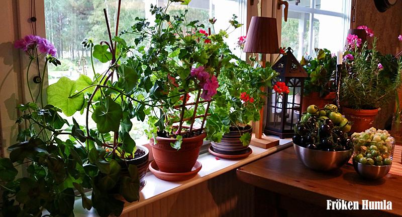 pelargoner,köksfönstret,odla,norrbotten,fröken humla