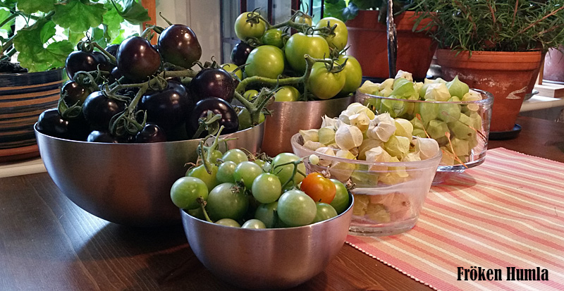 tomater,kapkrusbär,skörd,odla,norrbotten,växthus,fröken humla