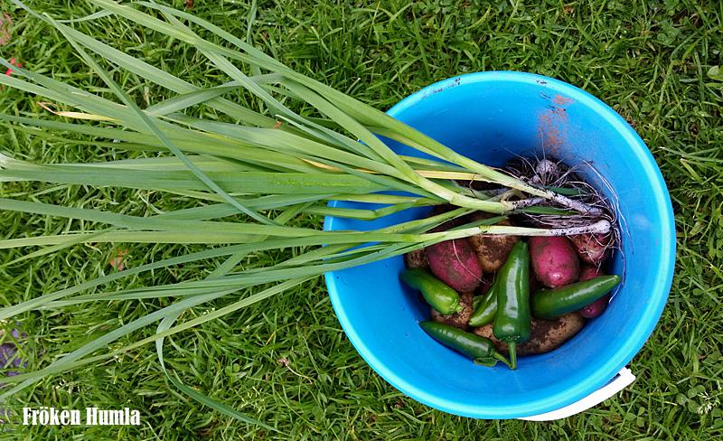 potatis,purjolök,paprika,odla,norrbotten,fröken humla