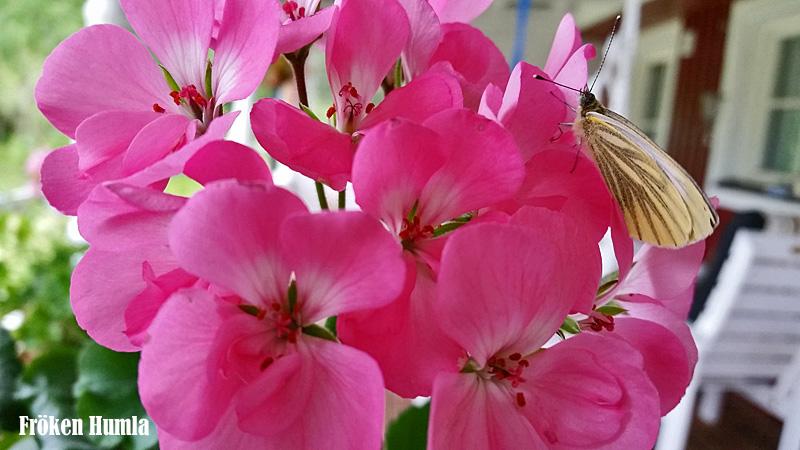 fröken humla,jenny holmgren,pelargon,fjäril,odla,norrbotten