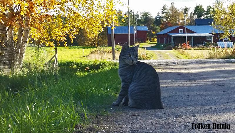 katt,norrbotten,bondkatt,fröken humla,jenny holmgren,