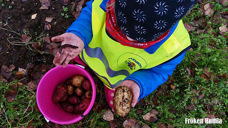 fröken humla,jenny holmgren,potatisland,odling,höst,norrbotten