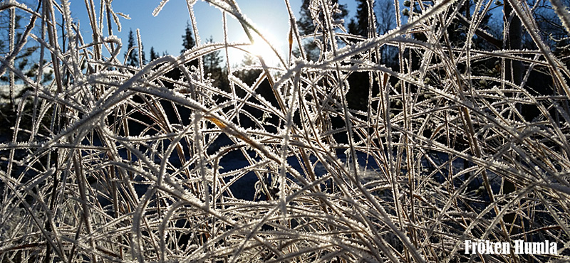 frost,höst,oktober,norrbotten,fröken humla