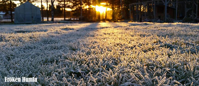 frost,höst,oktober,norrbotten,trädgård,fröken humla