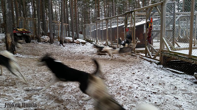 vinter,siberian huskey,novemberlov,fröken humla,norrbotten