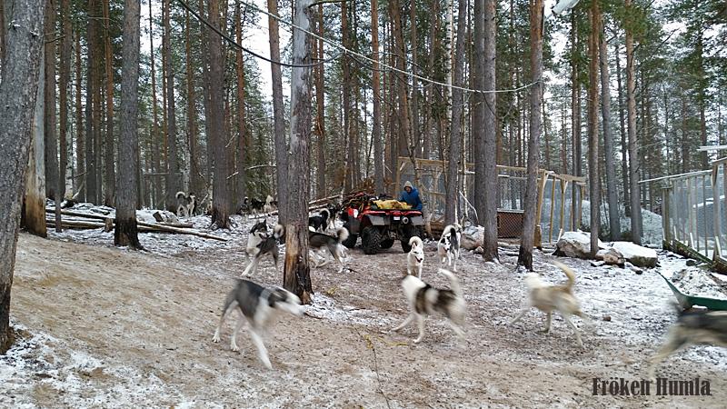 norrbotten,siberian huskey,novemberlov,vinter,fröken humla