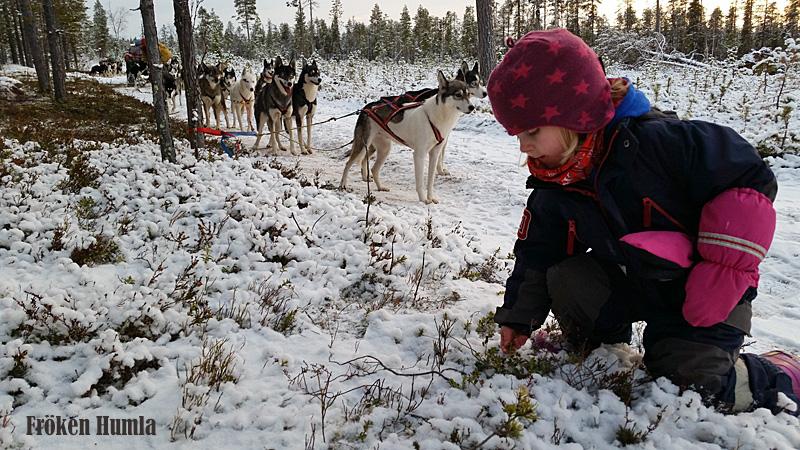 novemberlov,siberian huskey,norrbotten,fröken humla,vinter,plocka lingon