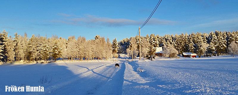 alaskan husky,vinter,mattisudden,norrbotten,fröken humla,jenny holmgren