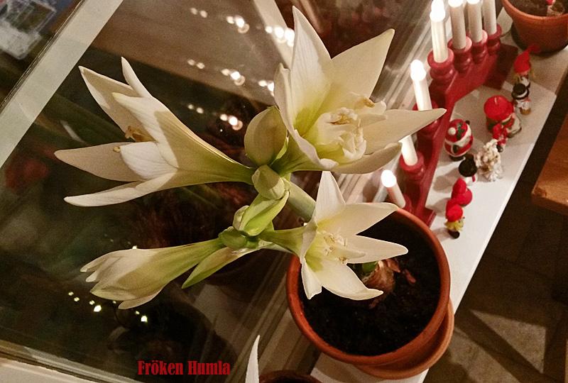amaryllis, jewel,jul,december,fröken humla,jenny holmgren,norrbotten
