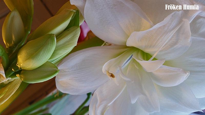 amaryllis,norrbotten,fröken humla,jenny holmgren