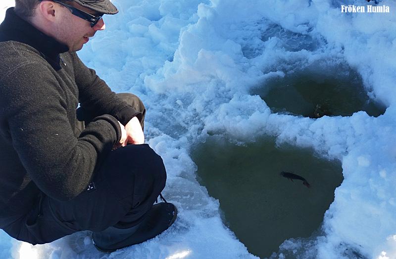 isfiske,abborre, norrbotten,vårvinter,snö,norrbotten,fröken humla,jenny holmgren