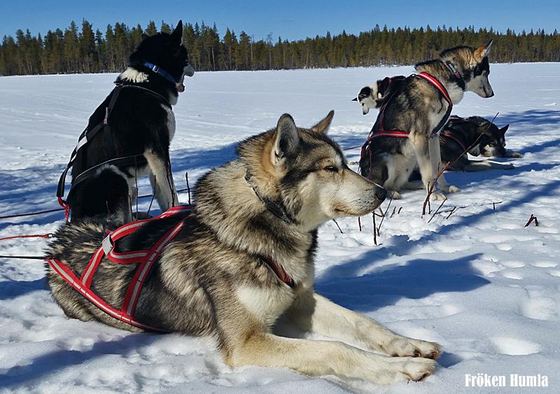 siberian husky,working husky,jokkmokk guiderna,norrbotten,hundspann,fröken humla,jenny holmgren