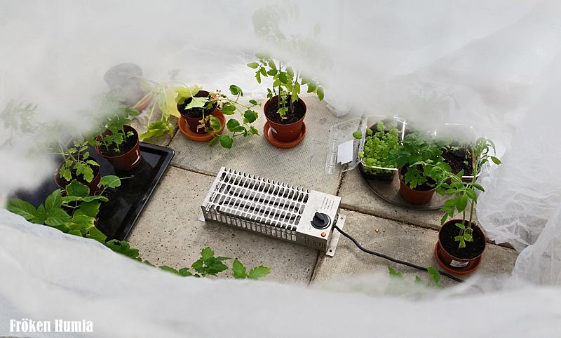 växthus,vår,norrbotten,fröken humla,jenny holmgren