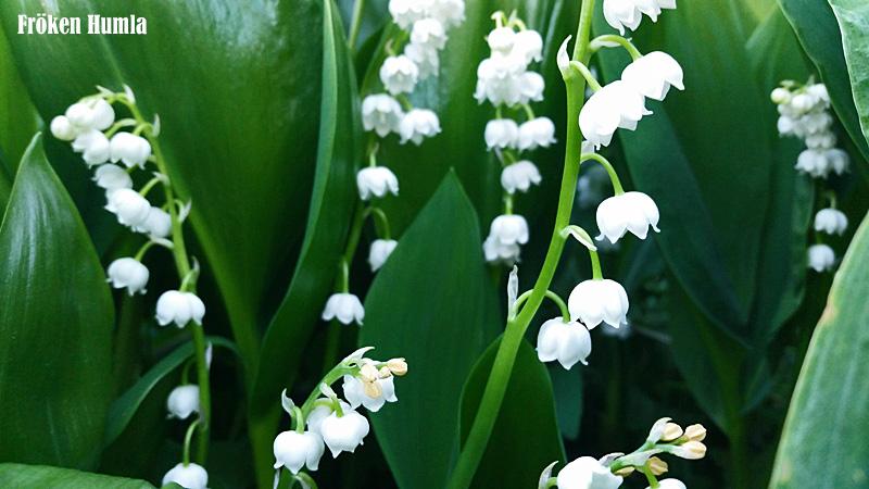 liljekonvalj,trädgård,fröken humla,norrbotten,jenny holmgren