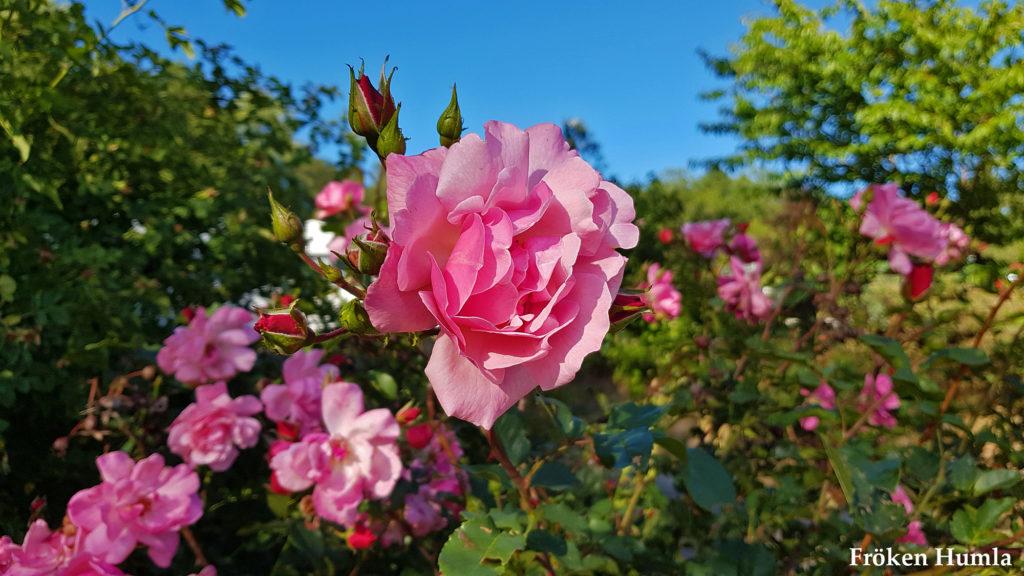 sommar,2018,rosor,fröken humla,jenny holmgren