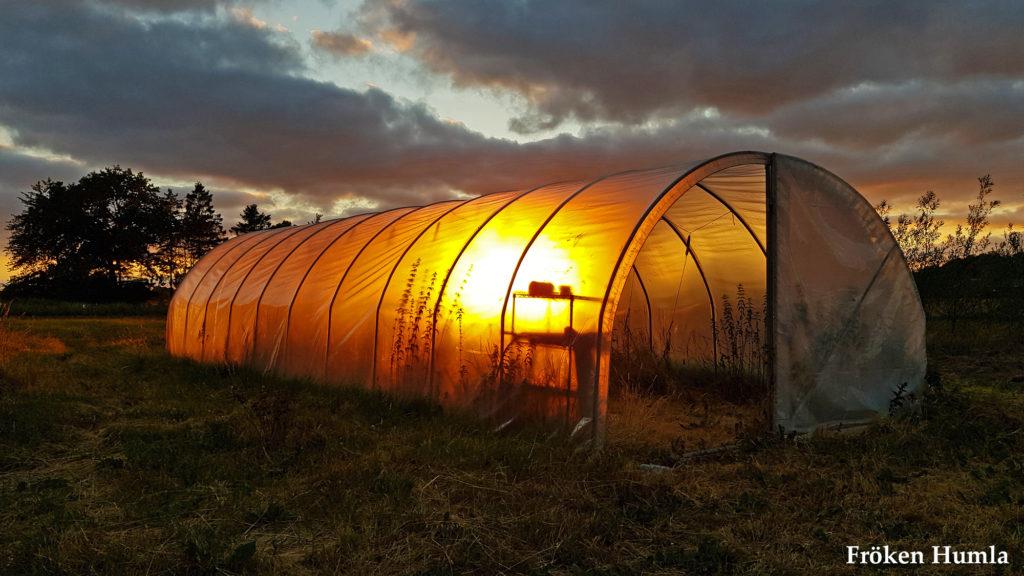 tunnel växthus,skåne,solnegång,sommar,2018,fröken humla,jenny holmgren