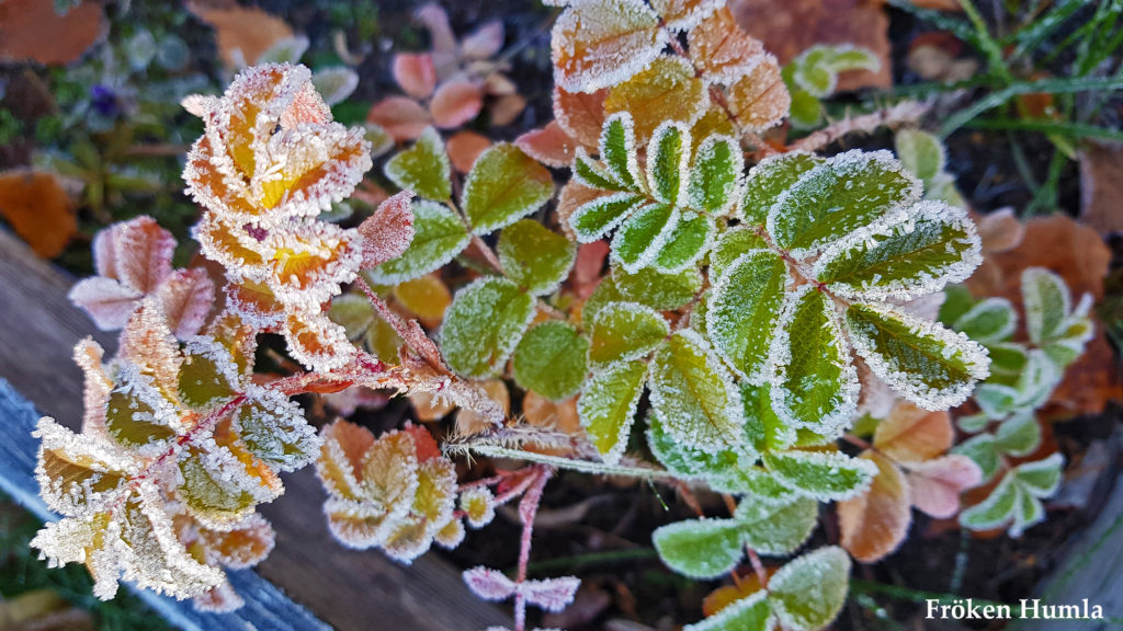 frost,mattisudden,norrbotten,lappland,blogg,fröken humla,jenny holmgren
